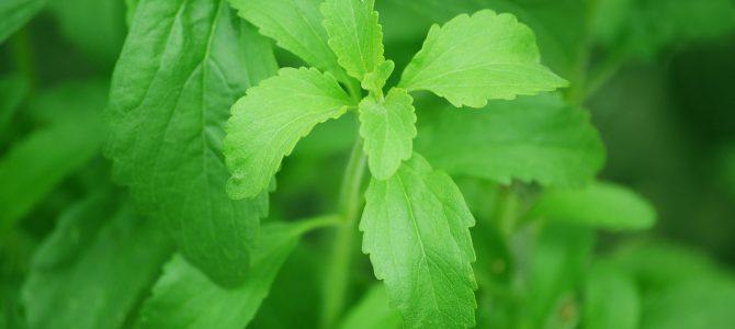 La stevia, l'erba dolce del sud america
